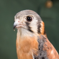 American Kestrel at the Audubon Art and Craft Festival (Hawley, PA). Photo credit: Chris Fischer.