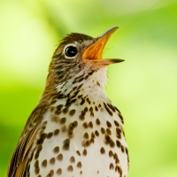 Andy Smith Photo -Thrush Singing