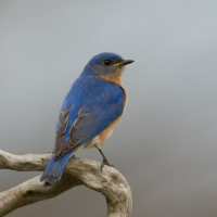 Photgraph - Bluebird - Dick Allyn